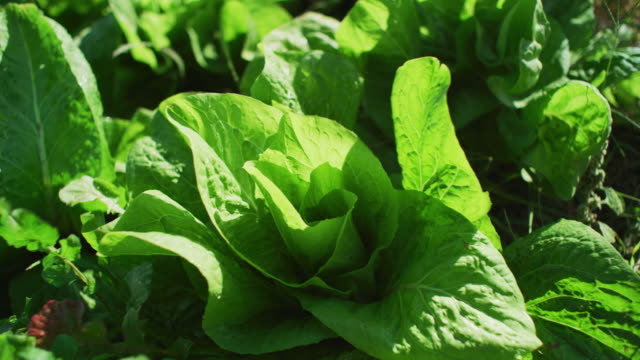 looking down on green leaf lettuce growing in an organic farm-to-table garden. - farm to table stock videos & royalty-free footage