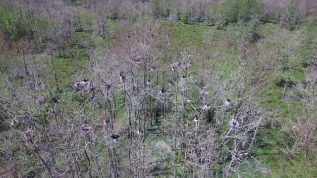 looking down to up of birds in nest - drone aerial 4k everglades, swamp bayou with wildlife alligator nesting ibis, anhinga, cormorant, snowy egret, spoonbill, blue heron, eagle, hawk, cypress tree 4k nature/wildlife/weather drone aerial video - bayou lafourche stock-videos und b-roll-filmmaterial