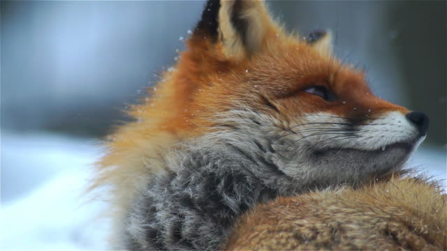 looking fox - cute stock videos & royalty-free footage