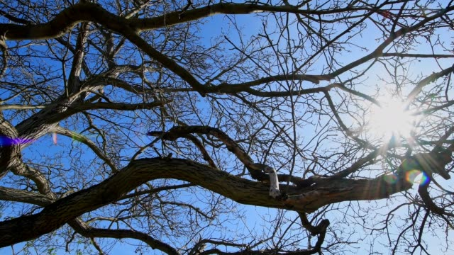 Looking into the tree crown of a walnut tree with sun, Heppenheim, Hesse, Germany