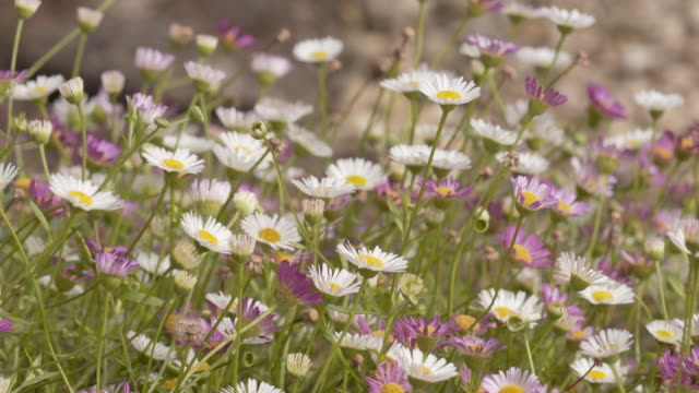 looking just like a daisies, the pink and white flowers of erigeron karvinskianus. flowering in summer. - vitality stock videos & royalty-free footage
