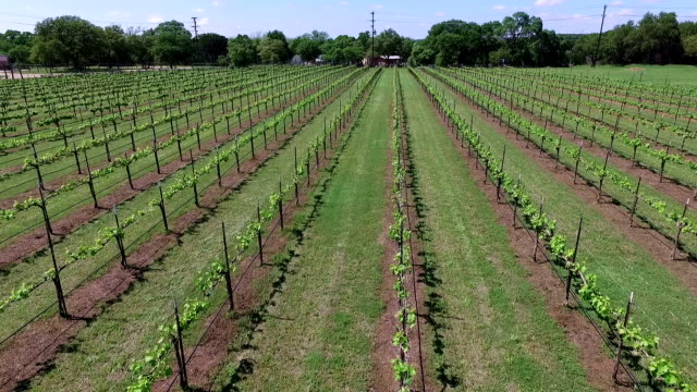 Looking Left to Right over Vineyard in Central Texas Hill Country