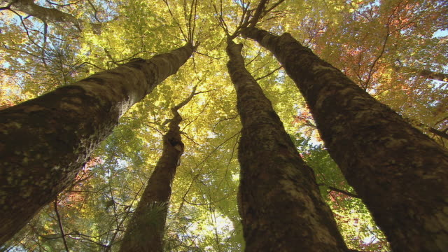 looking straight up at autumn color in tree canopy, rising along tree trunks. - trunk tree stock videos and b-roll footage