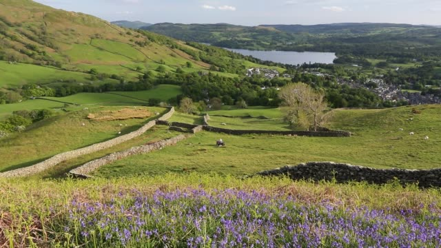 looking towards ambleside and lake windermere from red screes in the lake district, uk, with bluebells in the foreground. - red lake stock videos & royalty-free footage