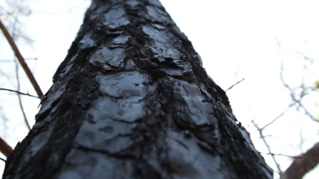 looking up a burned tree trunk into the sky - tree trunk stock videos & royalty-free footage