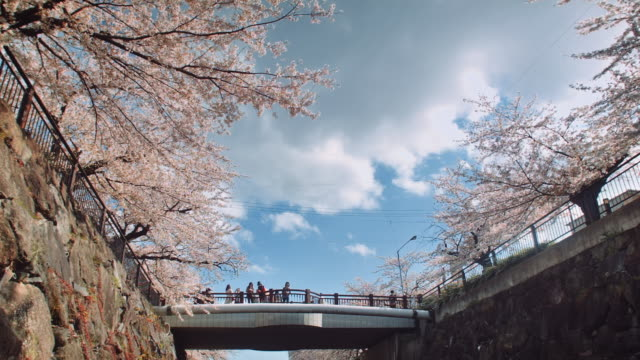 WS, looking up at a bridge over the Yamazaki river, Nagoya, surrounded by cherry blossoms