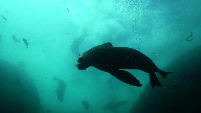 vídeos y material grabado en eventos de stock de looking up at a large group of cape fur seals swimming in rough water, false bay, cape town. - foca peluda del cabo