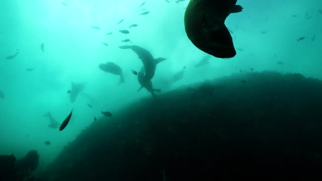 looking up  at a large group of cape fur seals swimming in rough water among a school of fish, false bay, cape town. - sea lion stock videos & royalty-free footage