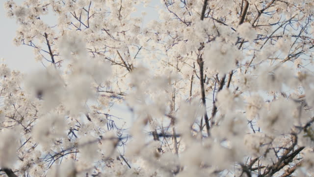 pov looking up at blossoming apple tree - blossom stock videos & royalty-free footage