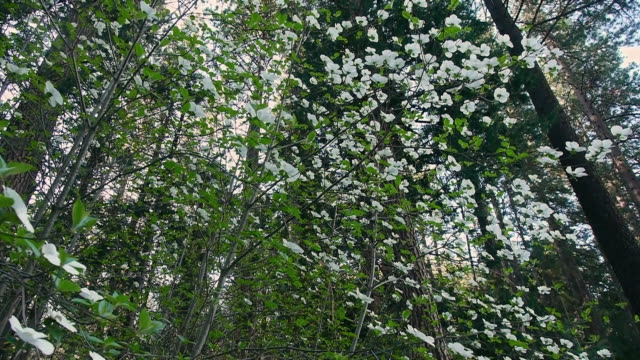 pan l looking up at canopy of flowering dogwood trees in forest in yosemite national park, california - dogwood stock videos & royalty-free footage