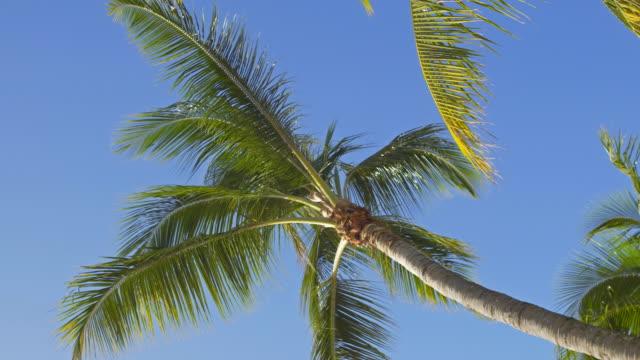 stockvideo's en b-roll-footage met kijken op kokosnoot palmbomen op de achtergrond van de heldere hemel - bare tree