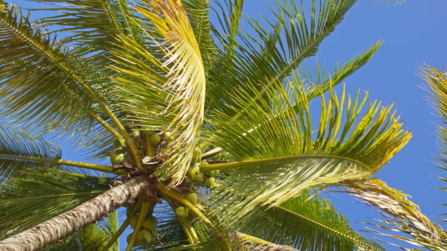 looking up at coconut palm trees on clear sky background - palm leaf stock videos & royalty-free footage