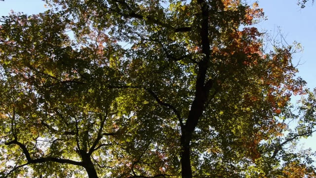 looking up at colorful bigtooth maple trees and blue sky, autumn color, texas hill country, lost maples state natural area, texas - naturligt landmärke bildbanksvideor och videomaterial från bakom kulisserna