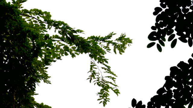 looking up at green leaves on tree branch blowing in the win at garden.natural phenomenon. - light natural phenomenon stock videos & royalty-free footage