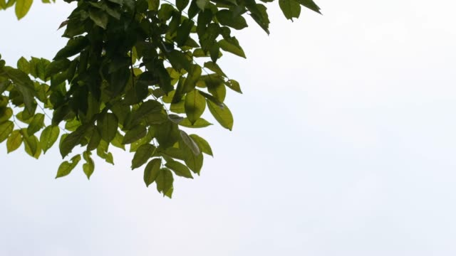looking up at green leaves on tree branch blowing in the win at cloudy sky.windy before raining.nature phenomenon - tree stock videos & royalty-free footage