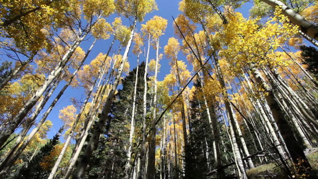 ms pan looking up at lots of tall trees / santa fe, new mexico, united states - aspen tree stock videos & royalty-free footage
