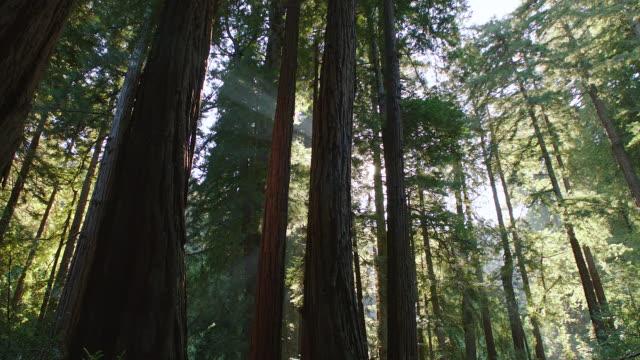 vídeos de stock, filmes e b-roll de ms looking up at redwood trees in muir woods - floresta de sequoias