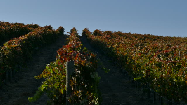 4k looking up at rows of autumn colored grape vines red and green leaves pan to large oak tree in the vineyard - grape leaf stock videos and b-roll footage