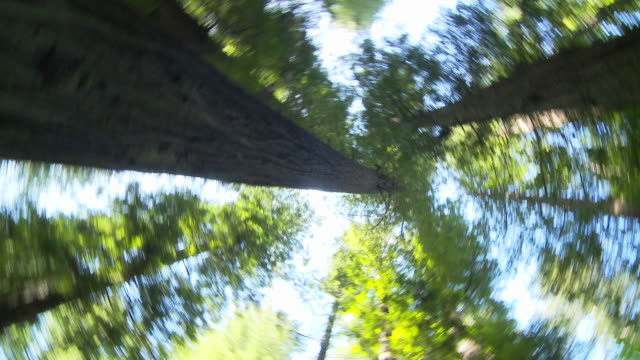Looking up at sky in redwood forest
