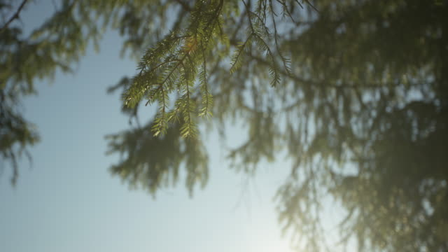 looking up at spruce tree in the sun - spruce stock videos & royalty-free footage