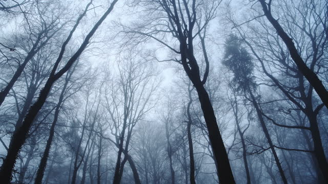 looking up at tall trees in woods, vertical view of blue bare woodlands forest scene, atmospheric nature shot of mysterious foggy and misty landscape with thick mist and fog in england, uk - bare tree stock videos & royalty-free footage