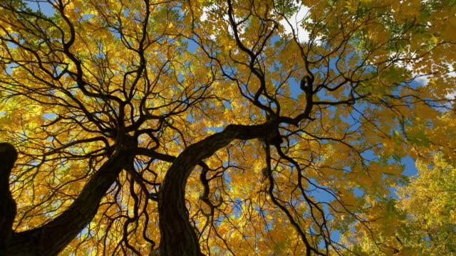 Looking up at the canopy of an Ash tree the golden yellow autumnal leaves and dark branches are silhouetted against the blue sky