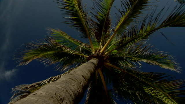 SPINNING Back and forth at base of palm tree looking up tree to coconuts leaves Beach tropical vacation Summer