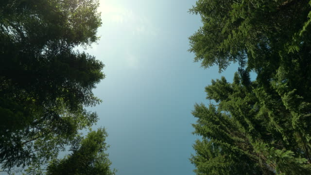 looking up in a pine tree forest in sweden - solitude stock videos & royalty-free footage