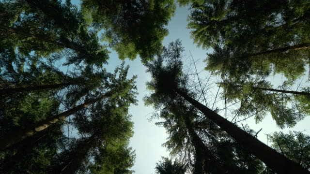 vídeos de stock e filmes b-roll de looking up in a pine tree forest in sweden - pinheiro