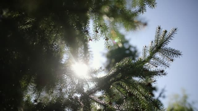 Looking Up in a Pine Tree Forest