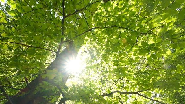 stockvideo's en b-roll-footage met looking up in beech forest in spring in daylight - mei