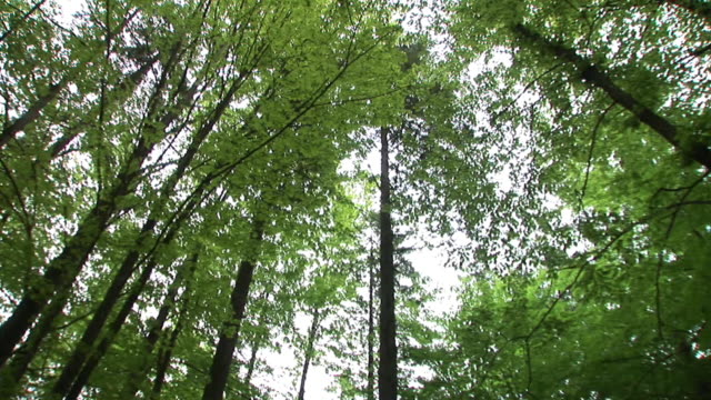 HD: Looking up in the forest