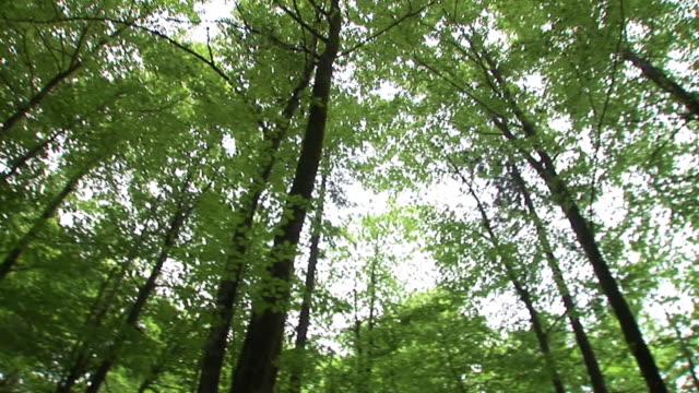 HD: Olhando para cima na floresta