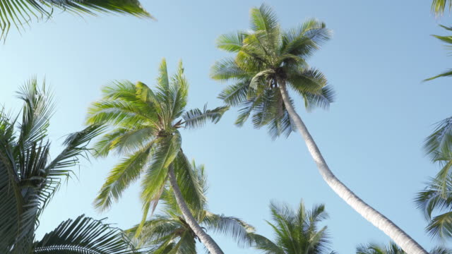 pan looking up on palm coconut trees and pan to the beach - palm tree stock videos & royalty-free footage