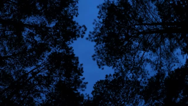 looking up pine forest with dusk sky - low angle view stock videos & royalty-free footage
