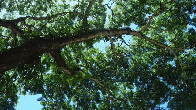 looking up samanea saman tree - large stock videos & royalty-free footage