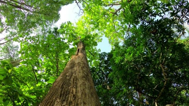 日差しでチークの木を見上げる - 硬木の木点の映像素材/bロール