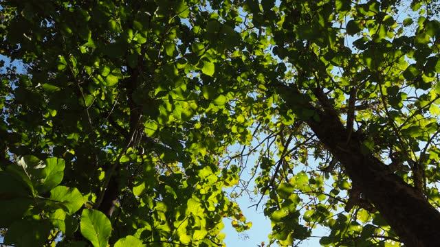 日光でチークの木を見上げる - 硬木の木点の映像素材/bロール