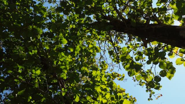 looking up teak trees with sunlight - hardwood stock videos & royalty-free footage
