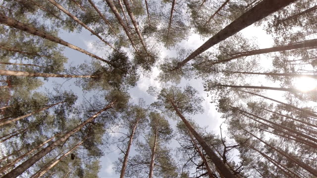 looking up through trees - pine tree stock videos & royalty-free footage