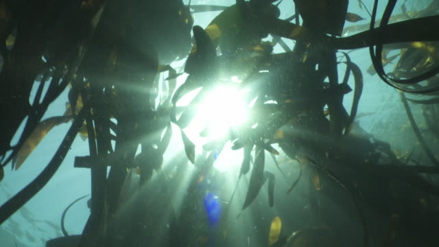 Looking up through underwater kelp forest to sun