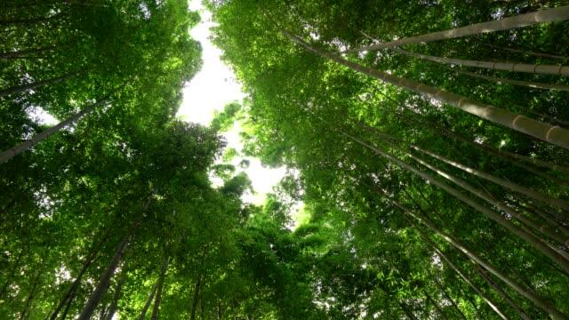 京都、嵐山の竹林を見上げる