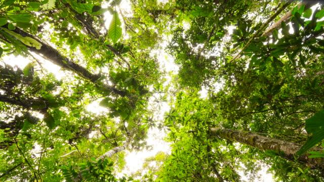 vídeos de stock, filmes e b-roll de looking up to the rainforest canopy in the ecuadorian amazon, time-lapse. - vista de baixo para cima