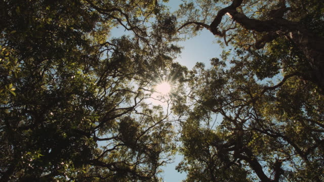 Looking up to the trees and sun rays, at Evans Head, New South Wales, Australia
