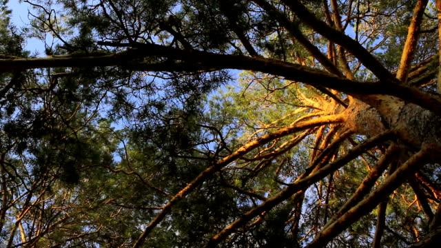 stockvideo's en b-roll-footage met looking up - naaldboom