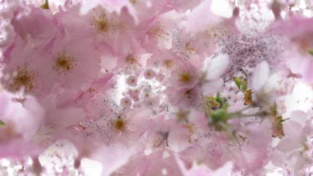 inside top of pink blossoming tree. loop. - fantasy stock videos & royalty-free footage
