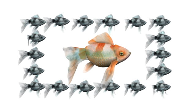 loopable, red goldfish surrounded by black goldfishes - leadership illustration stock videos & royalty-free footage