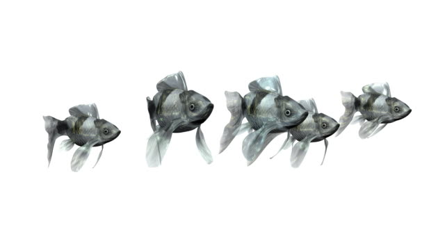 Loopable, Team of Black Goldfishes