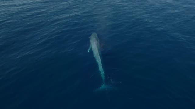 loop-able video of blue whale blowing in calm ocean - cetacea video stock e b–roll