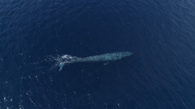 loop-able video of blue whale swimming in blue ocean - cetacea video stock e b–roll